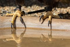 Falconry. Bald eagle talons with falconers leather jesses. Close up of bird of prey feet on water bowl with reflection royalty free stock images