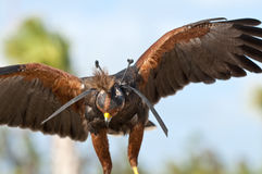 Falconry bird. An eagle covered with falconry mask royalty free stock photo