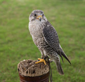 Falconry Bird of Prey. A bird of prey trained in the sport of falconry stock photography