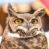 Portrait of a falconry owl. Falconry display. Buhó posing. Attentive owl poses to be photographed. Falconry stock image