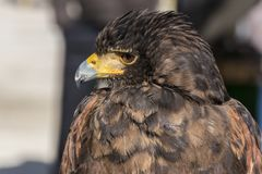 Close-up view of the head of a falconry eagle. Falconry eagle with his eyes covered in his resting place royalty free stock images