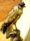 Falconry Falcon with Blind Fold Royalty Free Stock Image