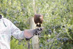 Falconry and Falcon Stock Photo