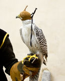 Falconry falcon rapacious bird in glove hand. Leather blind hood royalty free stock images