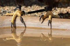 falconry Garras del águila calva con los jesses de cuero de los halconeros imágenes de archivo libres de regalías
