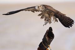 Falconry with Gyrfalcon. Hand wearing Gauntlet releasing Falcon for falconry or hawking royalty free stock images