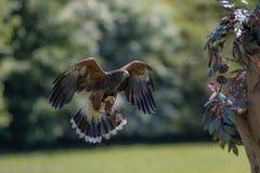 falconry Harris hawk el ave rapaz que caza en vuelo imagen de archivo libre de regalías