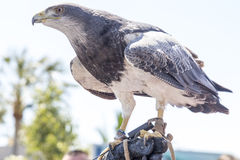 Falconry. Hawk perched on the glove of a person practicing falconry stock image