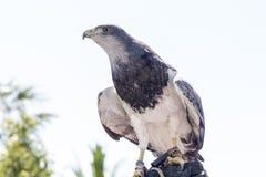 Falconry Royalty Free Stock Photos