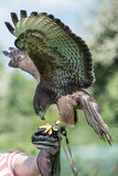 Falconry, kestrel Stock Photo