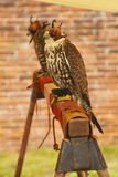 Falconry predatory bird hooded hawk.  royalty free stock image
