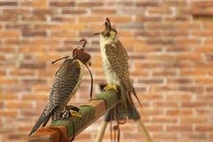 Falconry predatory bird hooded hawk.  royalty free stock images