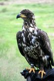 Falconry and young bald eagle Royalty Free Stock Photography