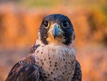 Falcons royalty free stock photography