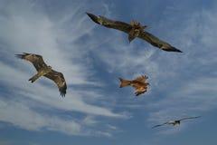 Falcons fly against the blue sky Royalty Free Stock Photos