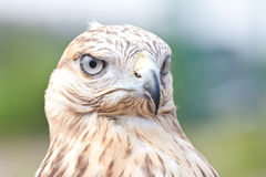 Falcons portrate Stock Photography