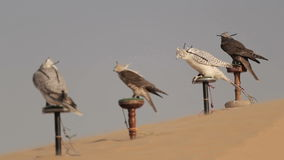 Falcons in woestijn, Doubai stock footage