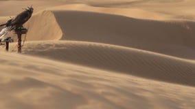 Falcons in woestijn, Doubai stock videobeelden