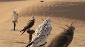 Falcons in woestijn, Doubai stock video