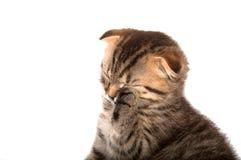 Falcowanie kot odizolowywający obraz royalty free
