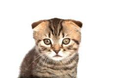 Falcowanie kot odizolowywający zdjęcie royalty free