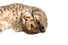 Falcowanie kot odizolowywający obrazy stock