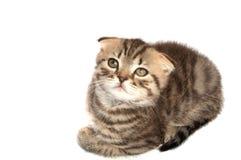 Falcowanie kot odizolowywający zdjęcia stock
