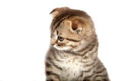 Falcowanie kot odizolowywający obrazy royalty free