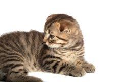 Falcowanie kot odizolowywający fotografia stock