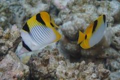 Falcula de Chaetodon dos butterflyfish de Blackwedged imagens de stock