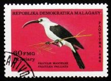 Falculea palliata,大约1986年 图库摄影