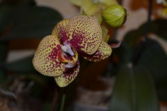 falenopsis兰花,兰花,室兰花,老虎兰花 免版税库存照片