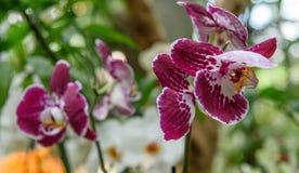 Falenopsis Bilbao è pianta popolare in orticoltura della serra e della stanza, giardini botanici immagine stock libera da diritti