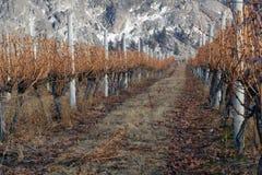 falez ścinków winogradów zima Zdjęcie Stock