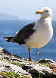 falezy krawędzi seagull Obraz Royalty Free