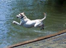 Falhanço da barriga de Labrador Fotografia de Stock