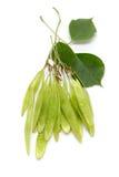 Fali verde orgánico del ki del sheesham o palo de rosa indio y x28; Sissoo& x29 del Dalbergia; el manojo de las vainas de la semi Foto de archivo libre de regalías