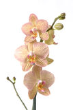 Falinopsis Royalty Free Stock Photos