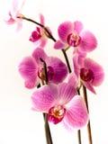 falinopsis orchidea Zdjęcia Stock