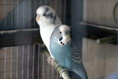 Faliste papugi Zdjęcie Stock