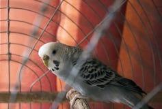Faliste papugi Zdjęcia Royalty Free