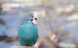 Falisty papuzi błękit zdjęcia royalty free
