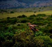 Falk Eagle Hawk Birds Wings Arkivbild