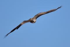 Falk i flyg Royaltyfria Foton