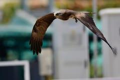 Falk i flyg Royaltyfri Bild