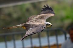 Falk i flyg Arkivbilder