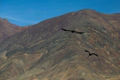Falk i Tibet Arkivfoton