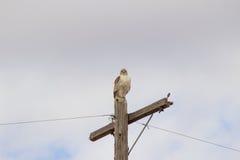 Falk på en stolpe arkivfoton