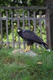 Falk på en vagga Arkivfoto