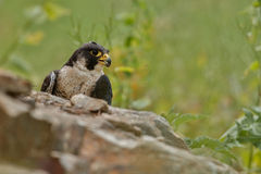 Falk på vagga Europeiskt djurliv i naturlivsmiljön royaltyfri bild